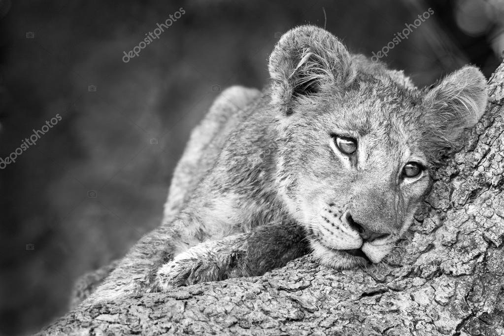 cute lion cub in black and white