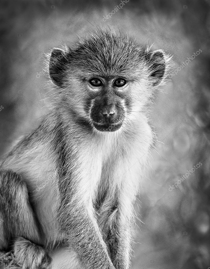 Vervet grey monkey in black and white