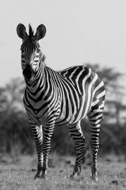 Wild African zebra in black and white