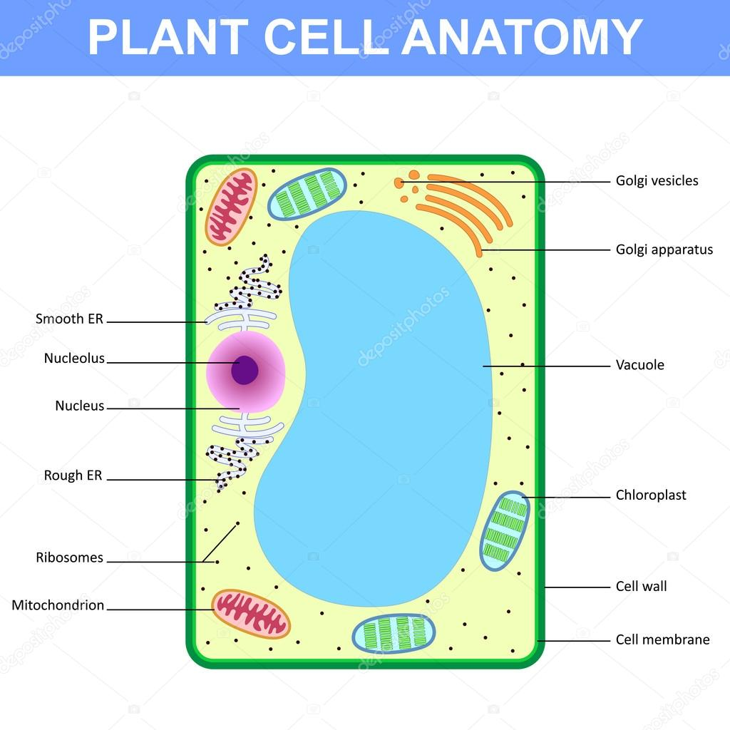 Structure of a plant cell stock vector mrhighsky 101825438 labelled diagram of the structure of a plant cell vector by mrhighsky pooptronica Image collections