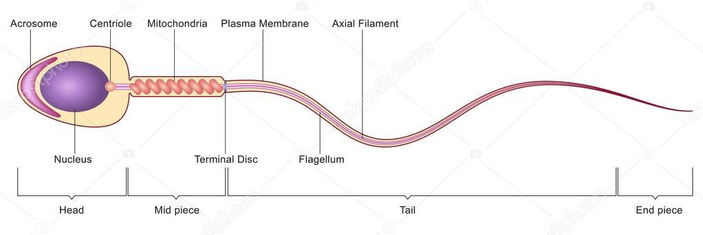 Sperm cell anatomie — Stockvector © mrhighsky #78209158