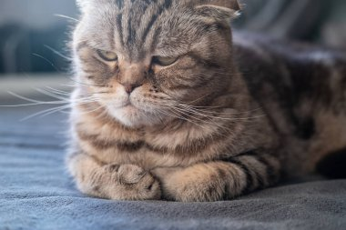 Serious, displeased cat Scottish Fold looks thoughtfully with folded legs and lying on a soft sofa. Close-up.