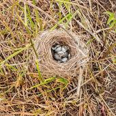 zničené hnízdo s kropenatý vajíčka na výstřižky trávy