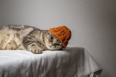 gray striped scottish fold cat with a funny orange winter hat on his head lies on a table