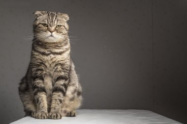 Pregnant thick gray striped scottish fold cat sitting on a table