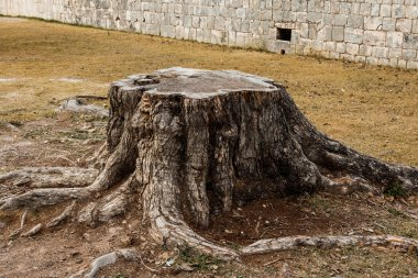 Old stump with roots