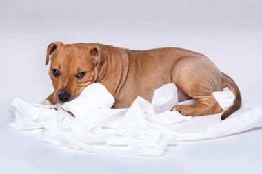 Staffordshire terrier puppy
