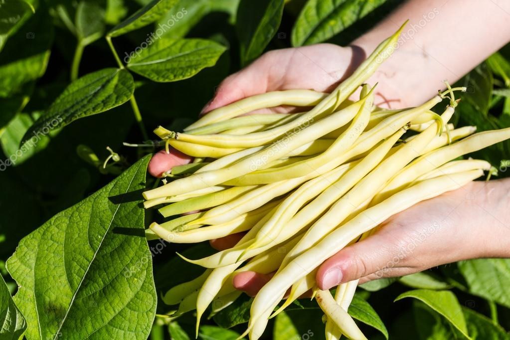 Picking yellow sprout beans on a field