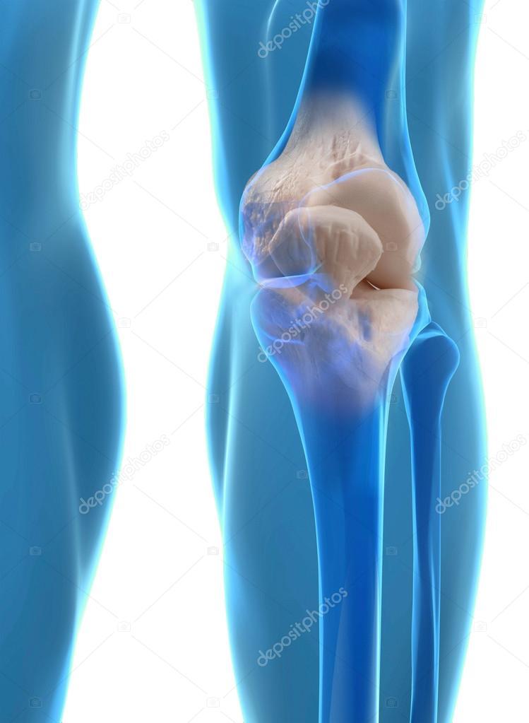 anatomía humana de la rodilla — Fotos de Stock © ingridat #56484319