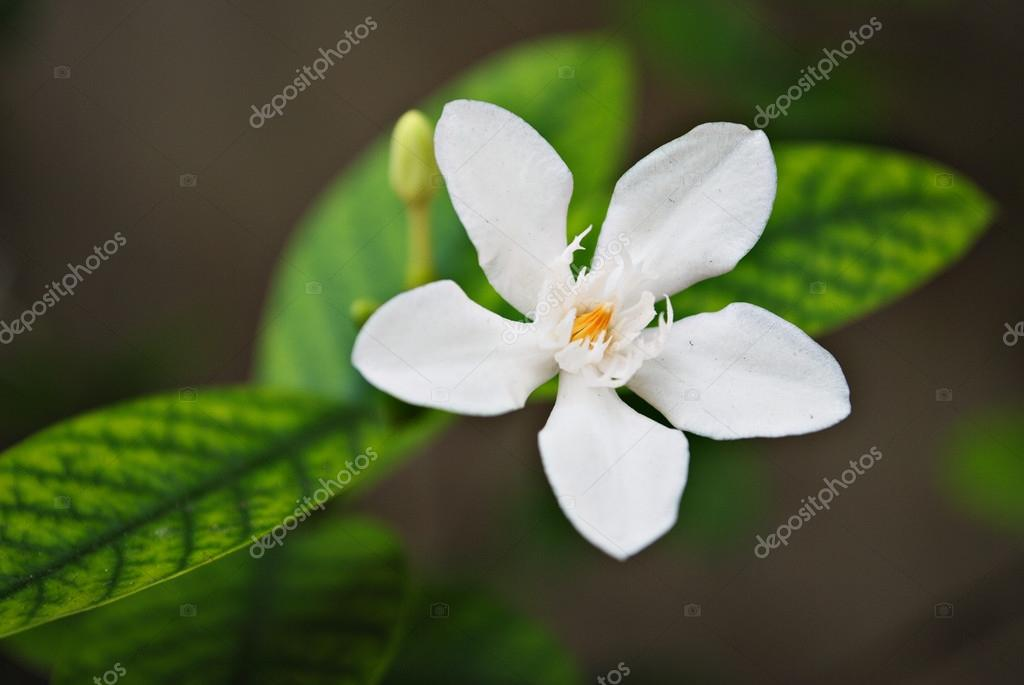 Tropical White Flower With Yellow Center Stock Photo