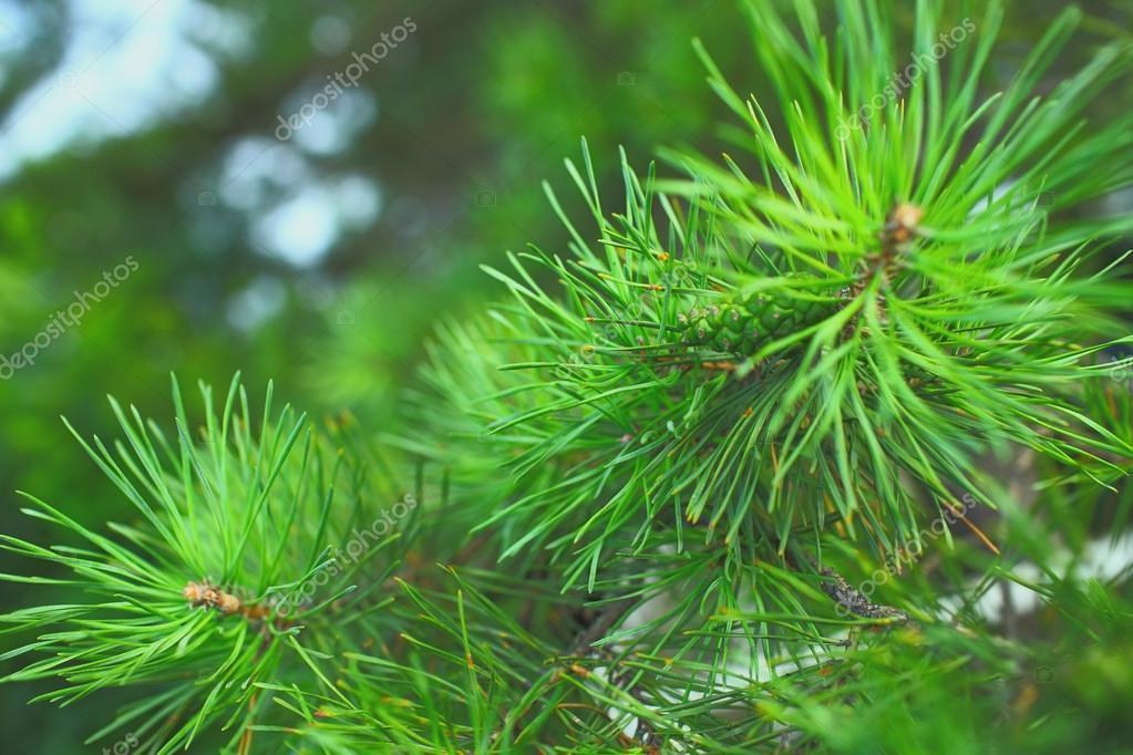 Needles of the pine tree macro