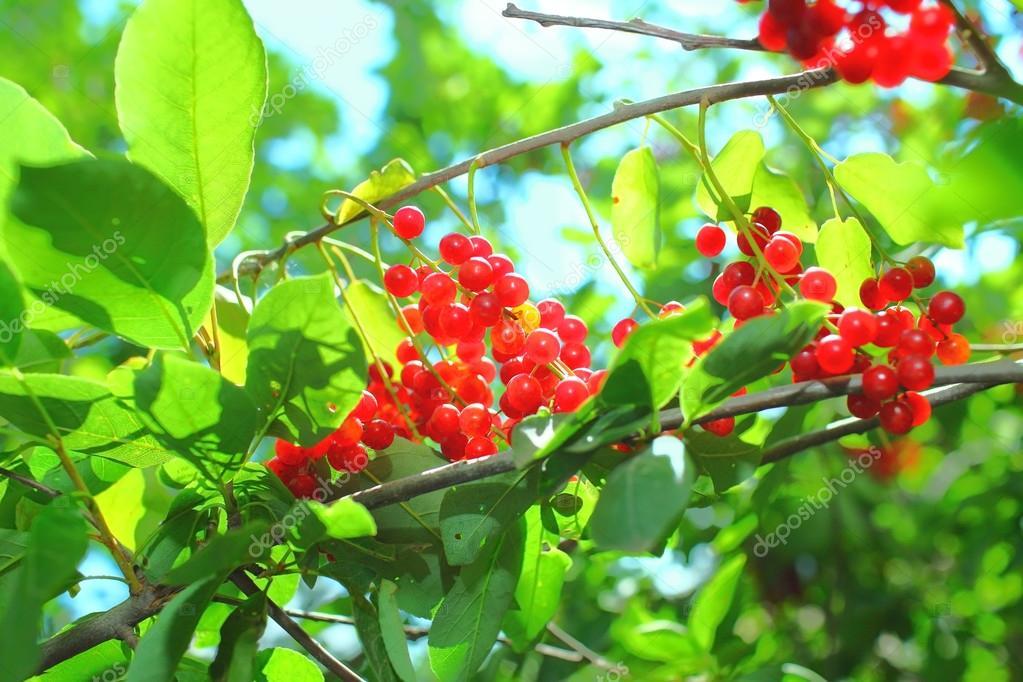 petits fruits rouges m rs sur l arbre photographie sudok1 118815506. Black Bedroom Furniture Sets. Home Design Ideas