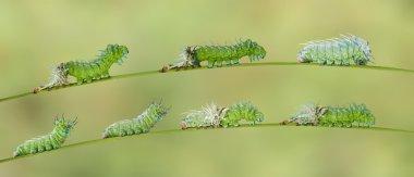 Molting caterpillar of Atlas butterfly