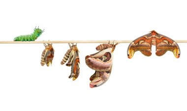 Life cycle of attacus atlas moth on white