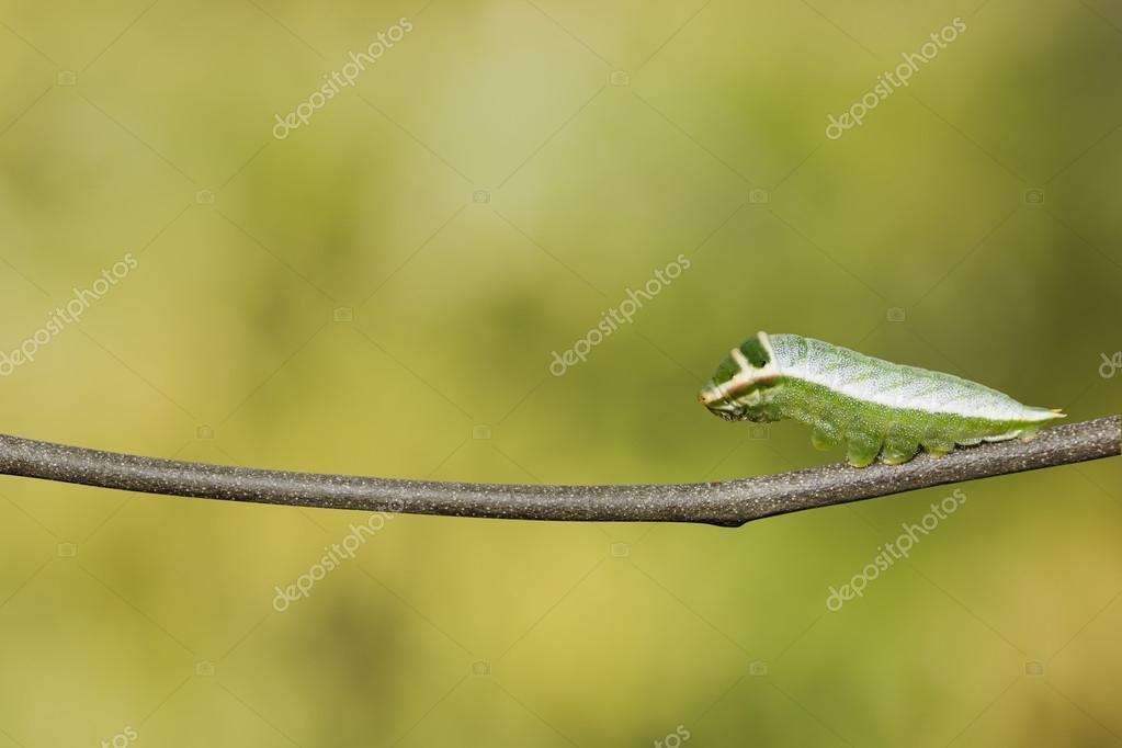 Caterpillar of Five bar swordtail butterfly (antiphates pompiliu