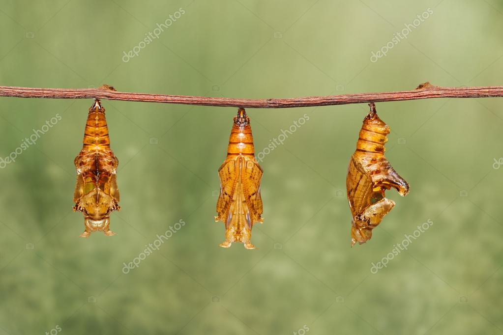 Crisálida de mariposa segeant de color colgando de la ramita — Fotos ...