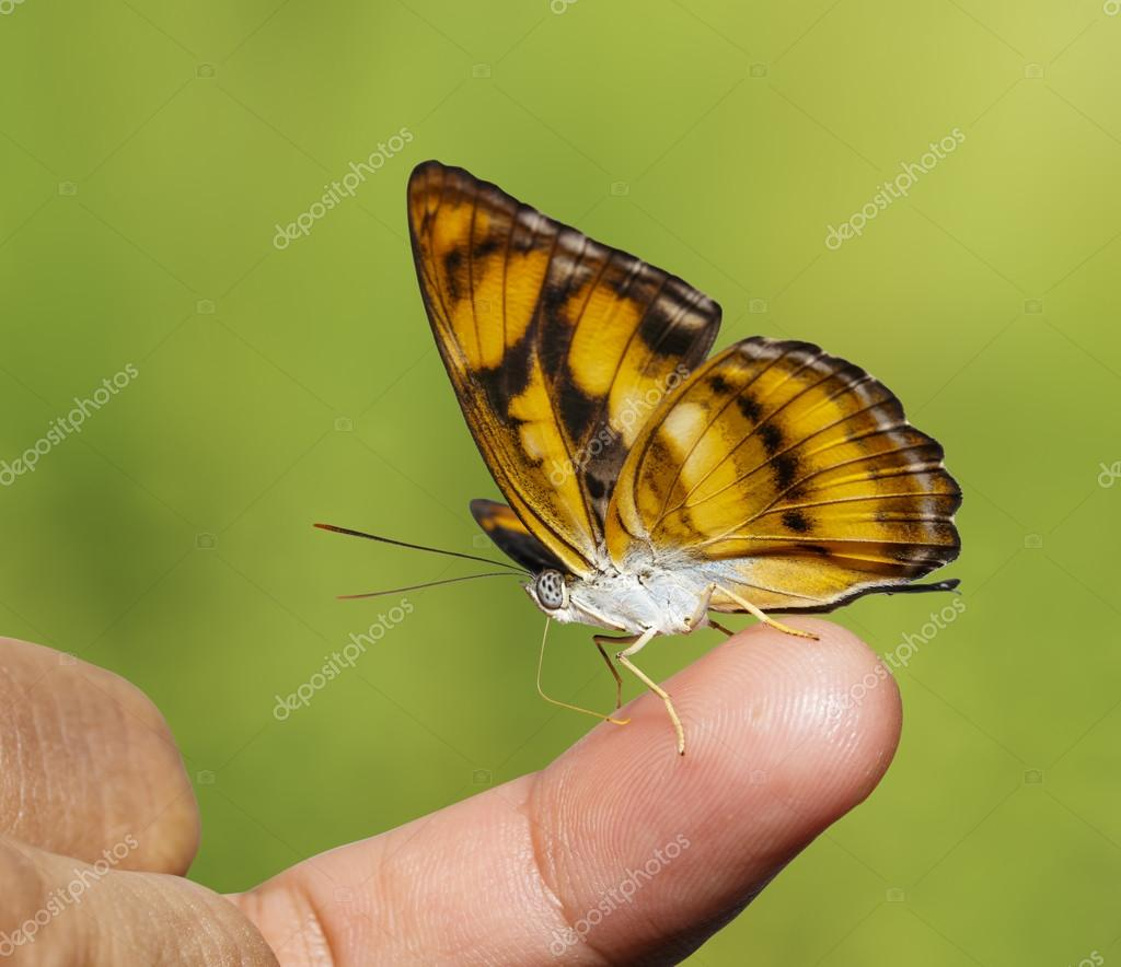 Colour segeant butterfly sucking fod from human finger