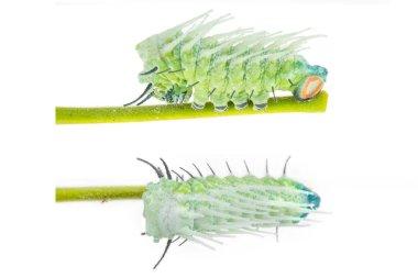 Caterpillar of largest attacus atlas moth
