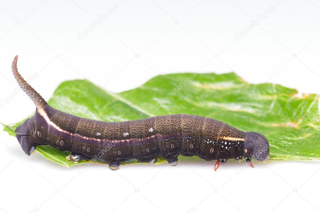 Sưu tập Bộ cánh vẩy  - Page 42 Depositphotos_61052425-stock-photo-caterpillar-of-macroglossum-sitiene-moth