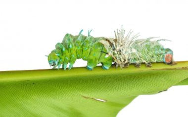 Molting skin of  largest caterpillar attacus atlas moth in white
