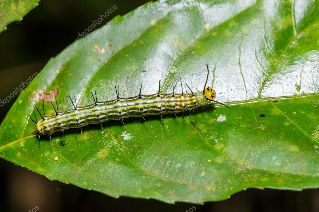 Bộ sưu tập cánh vẩy 5 - Page 5 Depositphotos_81989490-stock-photo-caterpillar-of-great-assyrian-terinos