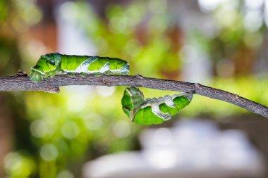 Mature caterpillars of great mormon butterfly