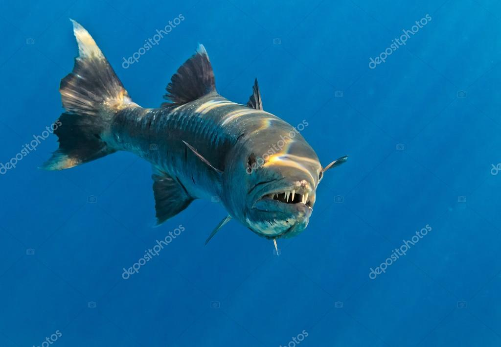Barracuda in The Indian Ocean
