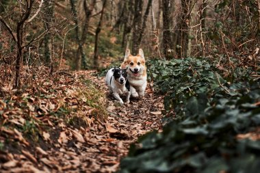 Dogs run forward with their tongues hanging out. Smooth haired Jack Russell Terrier and Welsh corgi Pembroke tricolor on walk. Two small purebred dogs are walking in autumn forest and enjoying life.