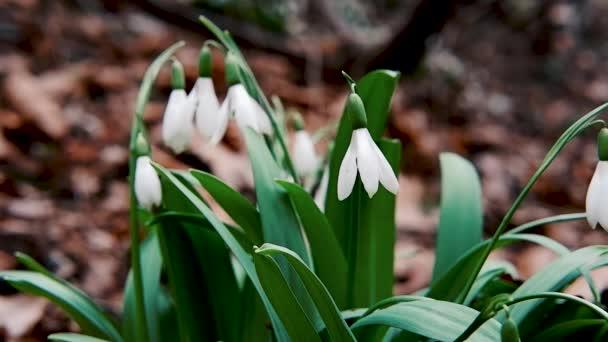 Hladké zpomalení videa s bokeh a měkké světlo. První jarní květy sněhových kapek rostou na lesní mýtině a kymácejí se ve větru. Krásný malý sníh bílý divoký les květiny rozkvést a potěšené oči.