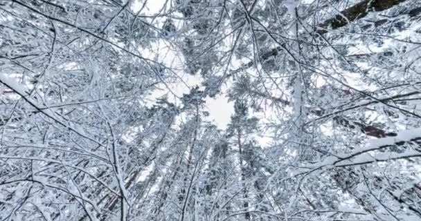spinning, rotation and Looking up into winter snow covered forest. Trees growing in the sky