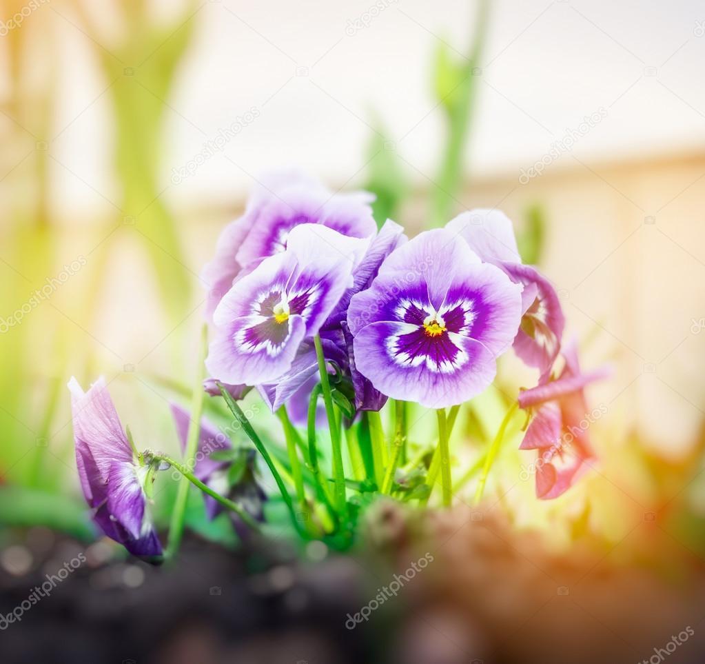 Blue lilac heartsease flowers