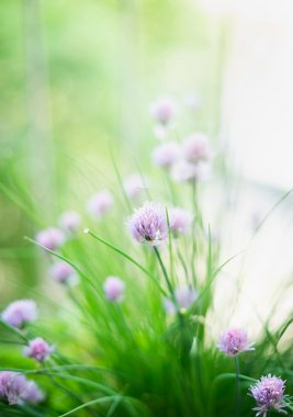 chives flowers on herb garden