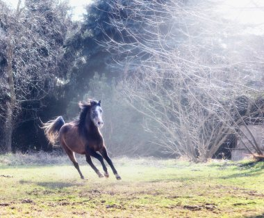 Young horse gallops