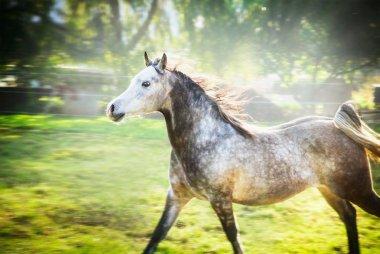 Gray stallion running gallop
