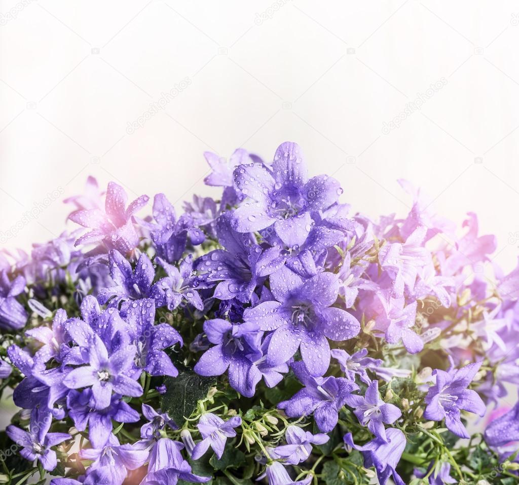 Purple Bell Campanula Flowers Stock Photo Vfotografie 118971490