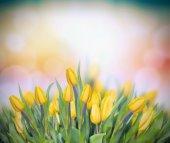 Fotografie yellow tulips on multicolor bokeh background