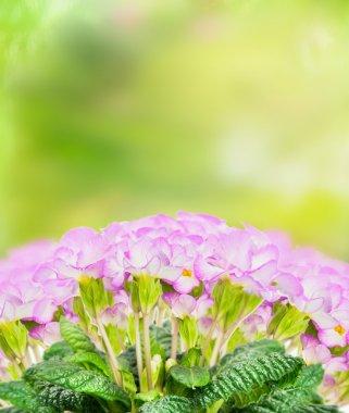 Pink pale primula