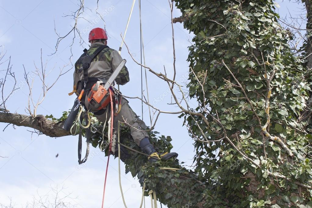 An arborist using a chainsaw to cut a walnut tree, tree pruning