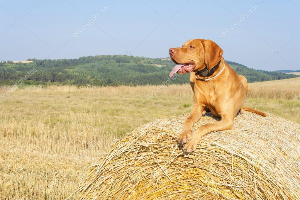 Hungarian Pointer Viszla on the harvested field on a hot summer day. Dog sitting on straw. Morning sunlight in a dry landscape.