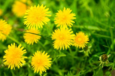 YeClose-up of yellow dandelions