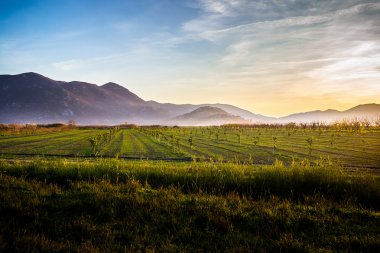 Fertile land with many young olive trees at sunset in Croatia