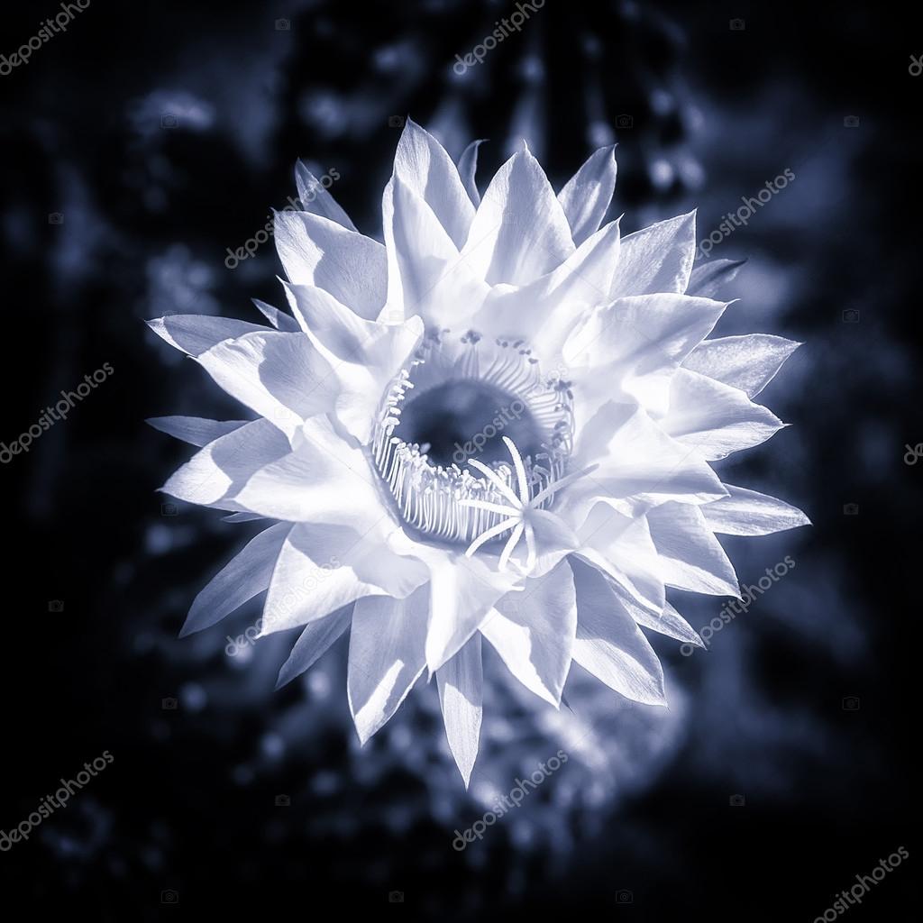 Blue toned cactus flower in bloom