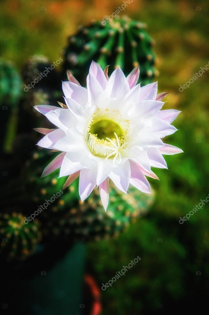 Cactus flower in bloom