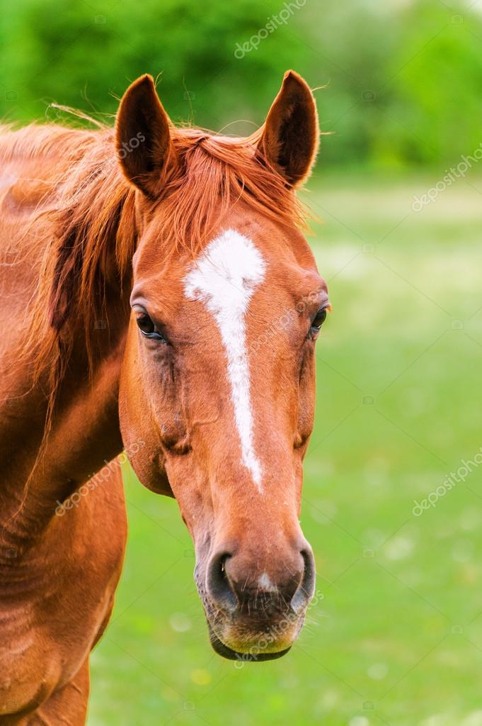 Powerful beautiful horse standing in the field and looking strai