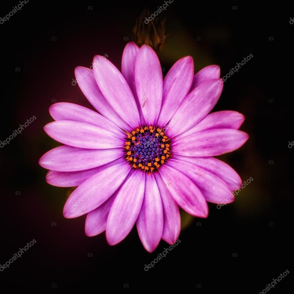 Pink single flower in garden blooming in spring