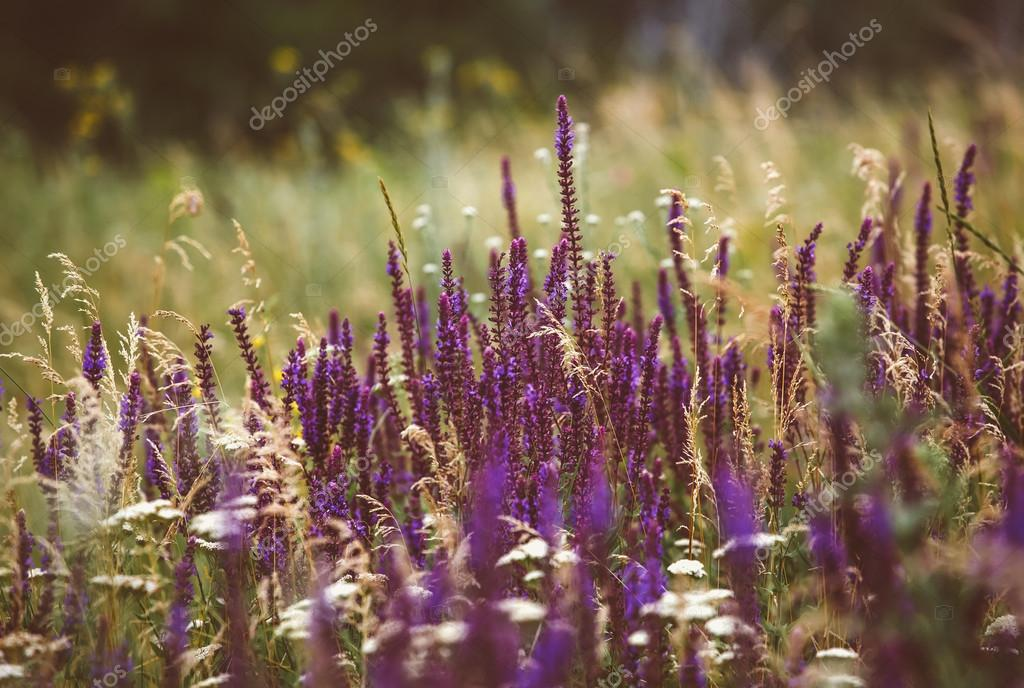 Beautiful detail of scented lavender flowers field in perfect Radiant Orchid color of the 2014. Image for agriculture, SPA, medical industries and diverse advertising materials.