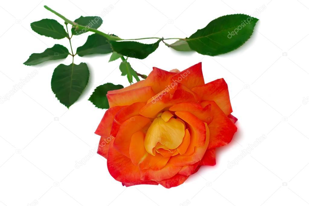 rouge rose avec feuilles sur fond blanc — photo #63208889