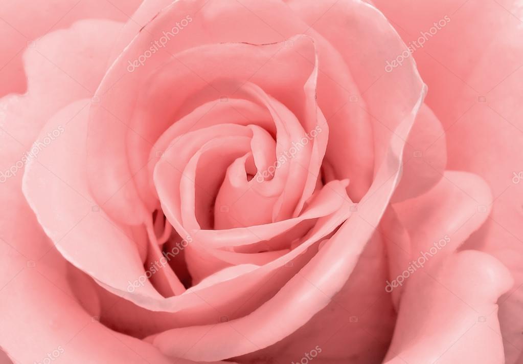La Belle Fleur Rose Delicate Couleur Rose Claire Closeup