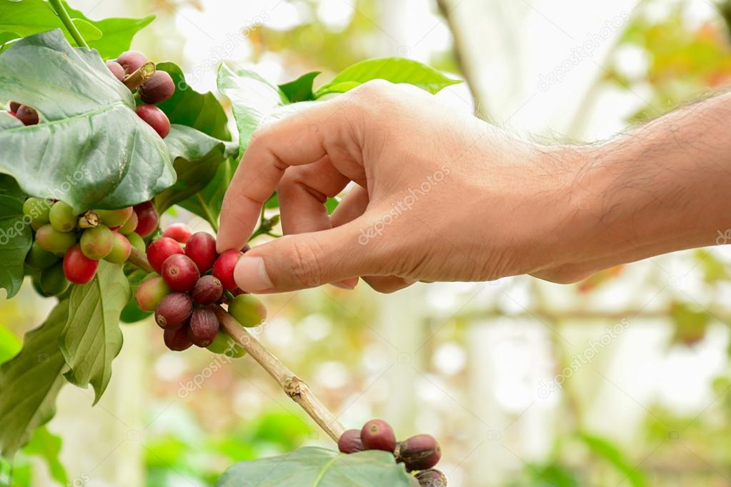 Hand picking red coffee beans on coffee tree (Arabica coffee)