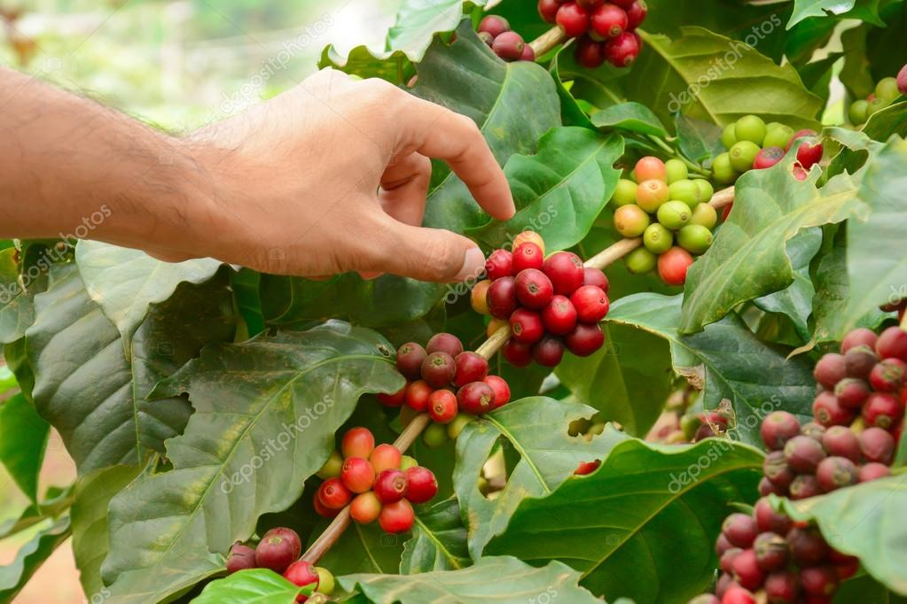 Hand picking red coffee beans on coffee tree (Arabica coffee)